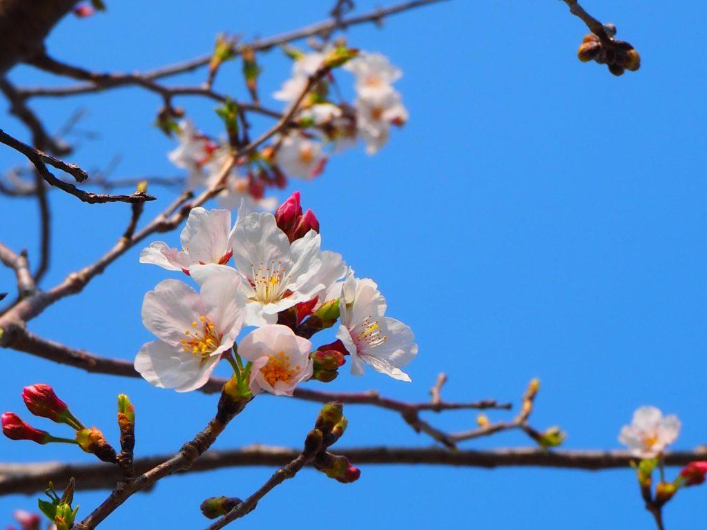 京屋酒造_桜2020